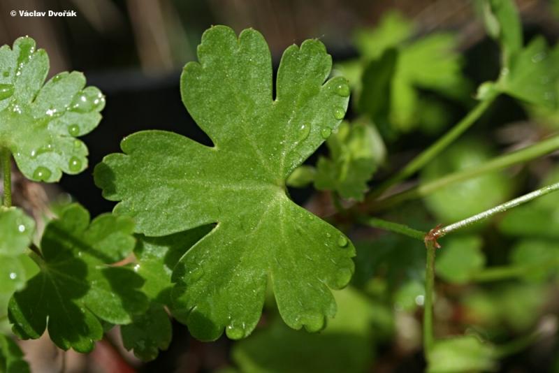 Geranium lucidum kakost leskl geraniaceae for Anales del jardin botanico