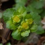 chrysosplenium-alternifolium-5