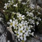 arenaria_grandiflora1