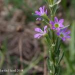 lythrum_hyssopifolia_1