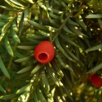 taxus_baccata1