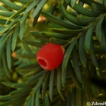 taxus_baccata2