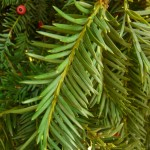 taxus_baccata3
