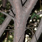 taxus_baccata4