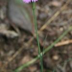 dianthus_carthusianorum_subsp_capillifrons3