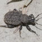otiorhynchus_ligustici1