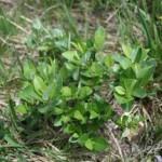 salix_hastata_subsp_-vegeta1