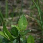 salix_hastata_subsp_-vegeta2