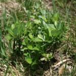 salix_hastata_subsp_-vegeta3