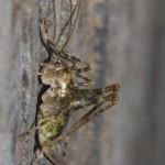 troglophilus_neglectus1
