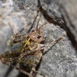 troglophilus_neglectus2