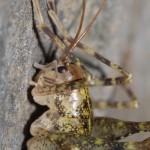 troglophilus_neglectus4
