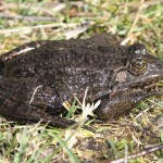 pelophylax_ridibundus4