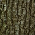 Quercus petraea 3