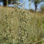 artemisia-pontica-2