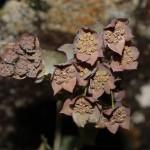 bupleurum_longifolium_subsp_vapincense1