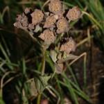 bupleurum_longifolium_subsp_vapincense2