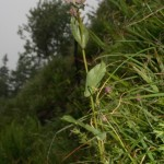 bupleurum_longifolium_subsp_vapincense3