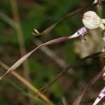 himantoglossum_adriaticum3