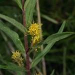 naumburgia_thyrsiflora2