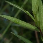 naumburgia_thyrsiflora3