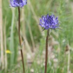 phyteuma_orbiculare_subsp_orbiculare3