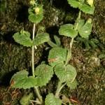 scrophularia_vernalis1