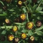 trifolium_spadiceum2