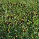 trifolium_spadiceum3