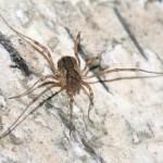 oligolophus_tridens1