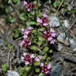 thymus_pulcherrimus_subsp_sudeticus1