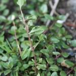 thymus_pulcherrimus_subsp_sudeticus2