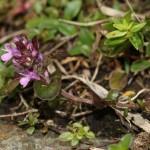 thymus_pulcherrimus_subsp_sudeticus4