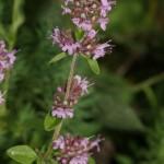 thymus_pulegioides_subsp_carniolicus1
