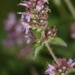 thymus_pulegioides_subsp_carniolicus2