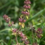 thymus_pulegioides_subsp_carniolicus4