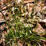 carex_digitata_5