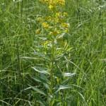 euphorbia_palustris1