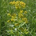 euphorbia_palustris2