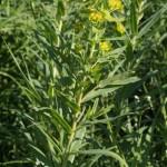 euphorbia_palustris5