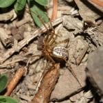 linyphia_triangularis1