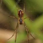 linyphia_triangularis3