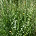 scorzonera_parviflora1
