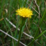 scorzonera_parviflora2
