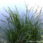 Carex_elata_5