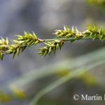 Carex_elongata_6