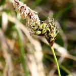 Carex_montana_3