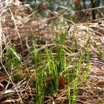 Carex_montana_5