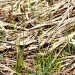 Carex_montana_6