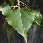Populus nigra 2